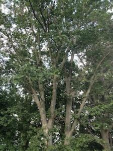 Big Tree in my backyard